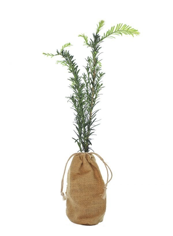 Yew Tree Gift - Taxus Baccata - Tree Gifts
