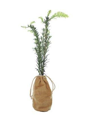 Yew Tree Gift