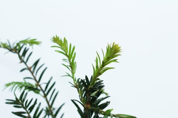 Yew Tree Gift  -  Taxus Baccata  -  Leaves  -  IMG1196  -  Tree Gifts